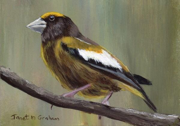 """Evening Grosbeak ACEO"" original fine art by Janet Graham"
