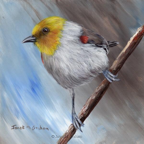 """Verdin"" original fine art by Janet Graham"