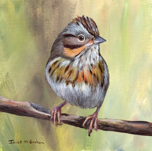 """Lincoln's Sparrow"" original fine art by Janet Graham"