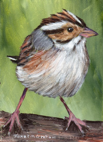 """""""Clay Coloured Sparrow ACEO"""" original fine art by Janet Graham"""