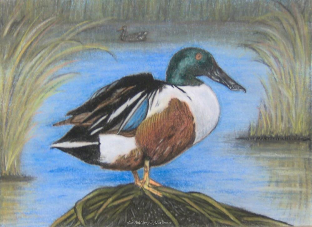 """Northern Shoveler 1"" original fine art by Mary Sylvia Hines"