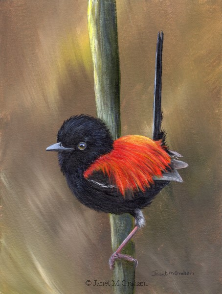 """Red Backed Fairy Wren"" original fine art by Janet Graham"