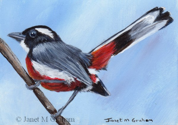 """""""Red Breasted Chat ACEO"""" original fine art by Janet Graham"""