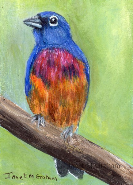 """""""Rose Bellied Bunting ACEO"""" original fine art by Janet Graham"""
