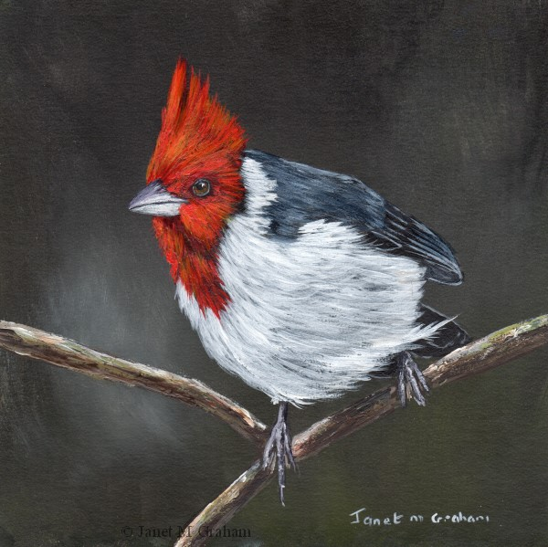 """Red Crested Cardinal"" original fine art by Janet Graham"