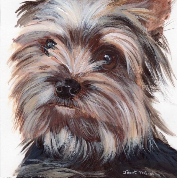 """Yorkie"" original fine art by Janet Graham"