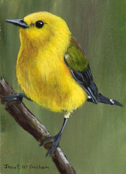 """""""Prothonotary Warbler ACEO"""" original fine art by Janet Graham"""