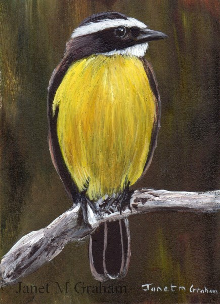 """Rusty Margined Flycatcher ACEO"" original fine art by Janet Graham"