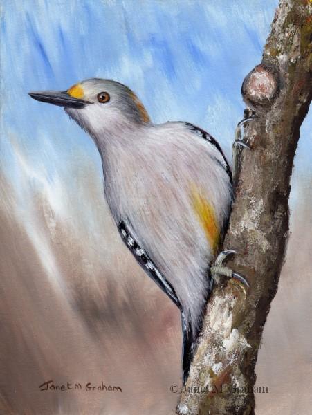 """Golden Fronted Woodpecker"" original fine art by Janet Graham"