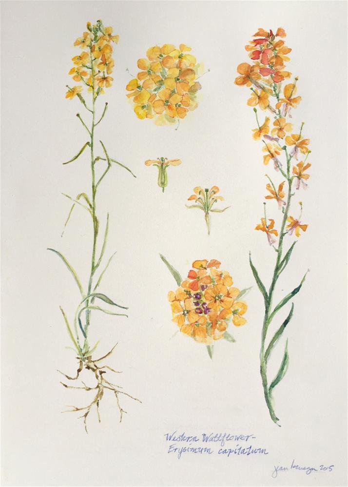 """Western Walllflower - Eryisimum capitatum"" original fine art by Jean Krueger"