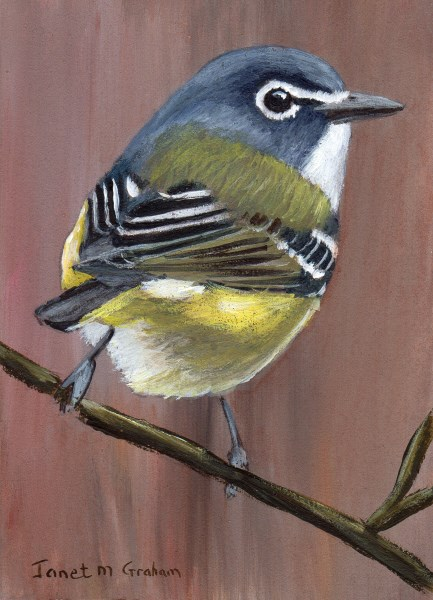 """""""Blue Headed Vireo ACEO"""" original fine art by Janet Graham"""