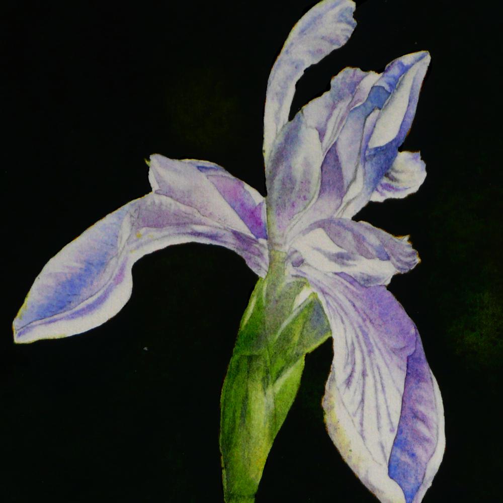 """Dutch Iris Painting"" original fine art by Arena Shawn"