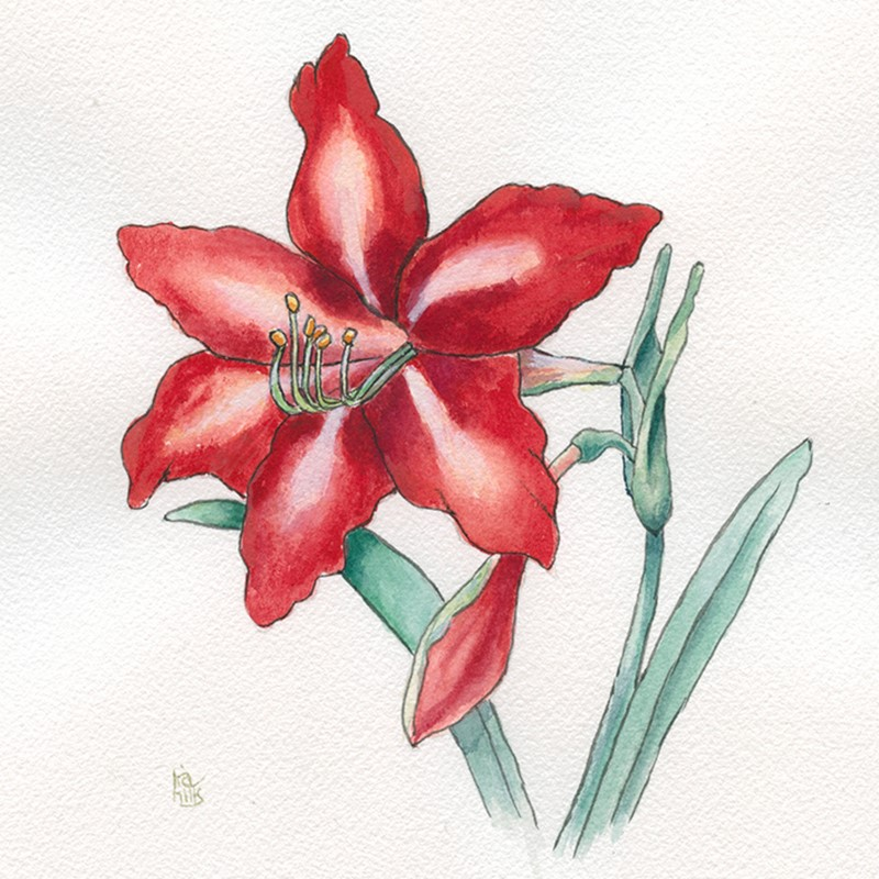 """Amaryllis flower watercolor painting"" original fine art by Ria Hills"