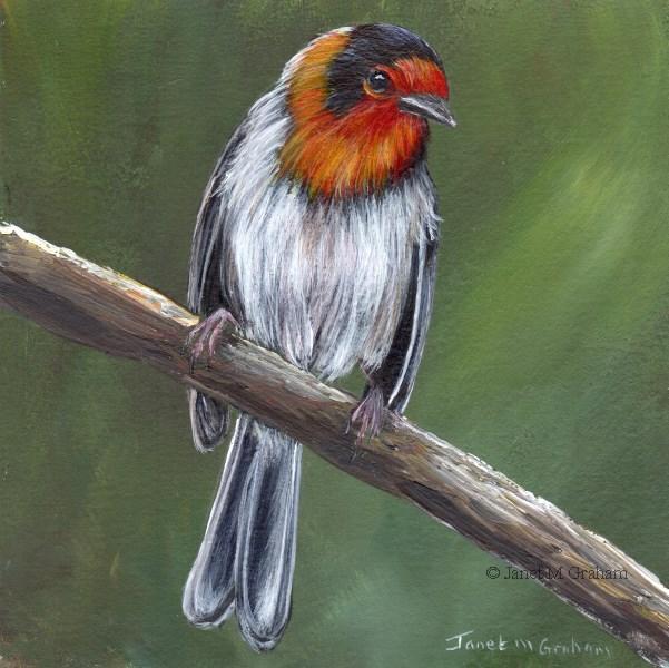 """""""Red Faced Warbler"""" original fine art by Janet Graham"""