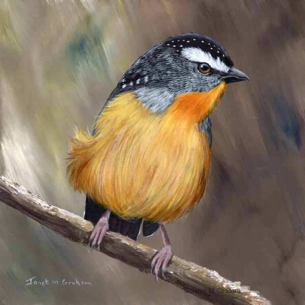 """""""Spotted Pardalote No 5"""" original fine art by Janet Graham"""