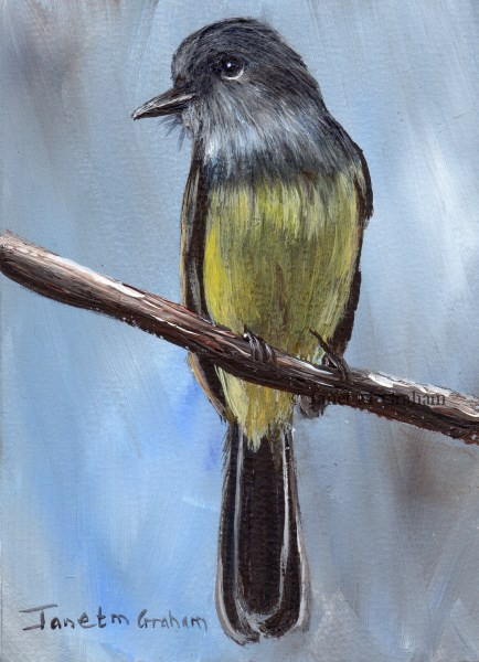 """Panama Flycatcher ACEO"" original fine art by Janet Graham"