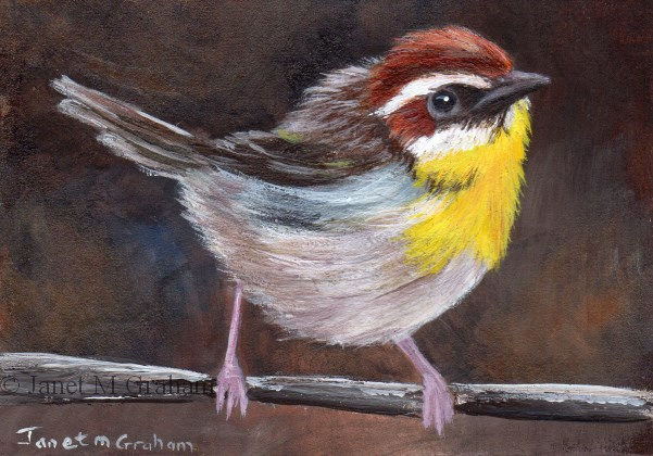 """""""Rufous Capped Warbler ACEO"""" original fine art by Janet Graham"""