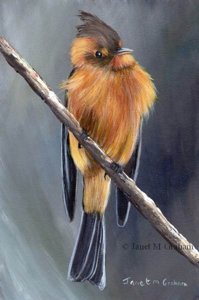 """Tufted Flycatcher"" original fine art by Janet Graham"