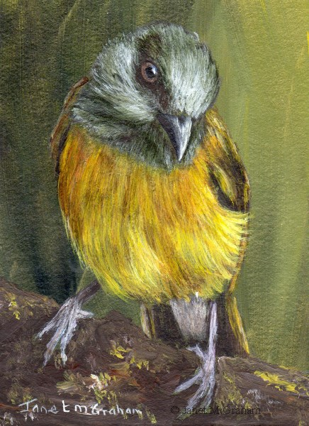 """""""Grey Headed Tanager ACEO"""" original fine art by Janet Graham"""