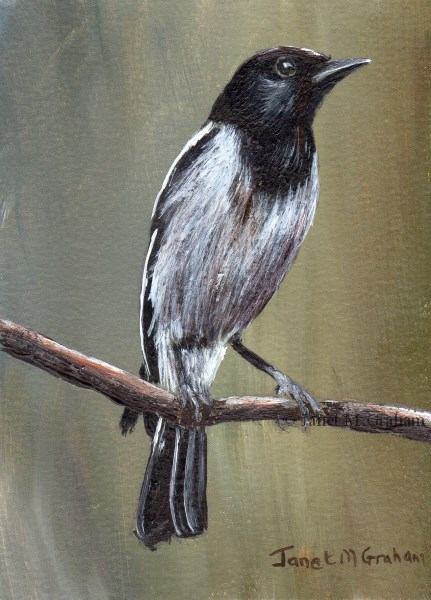 """""""Hooded Robin ACEO"""" original fine art by Janet Graham"""