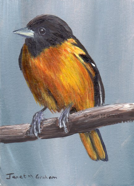 """""""Baltimore Oriole ACEO"""" original fine art by Janet Graham"""