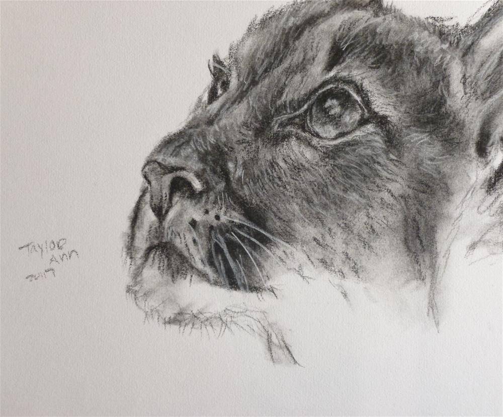 """Mountain Lion (Charcoal Study)"" original fine art by Taylor Ann"