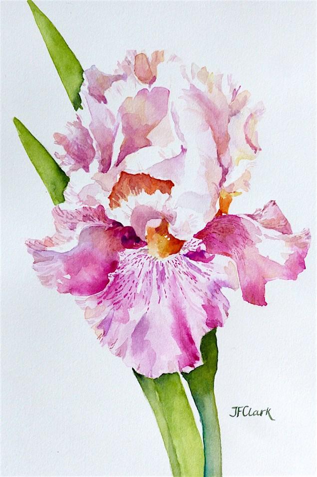 """Blushing Iris"" original fine art by Judith Freeman Clark"