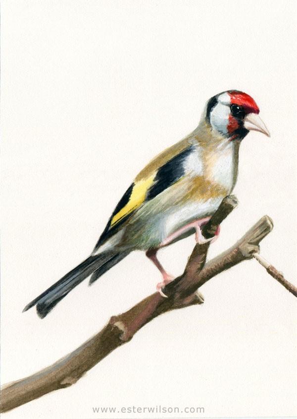 """European Goldfinch"" original fine art by Ester Wilson"