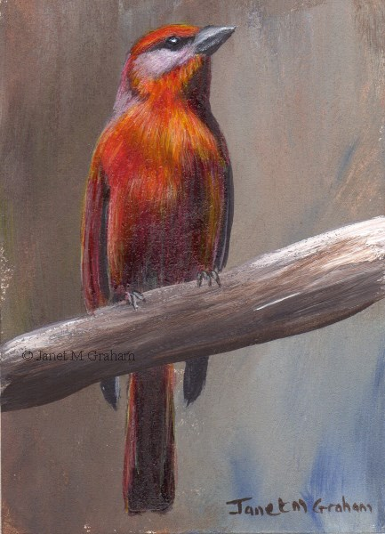 """Hepatic Tanager ACEO"" original fine art by Janet Graham"