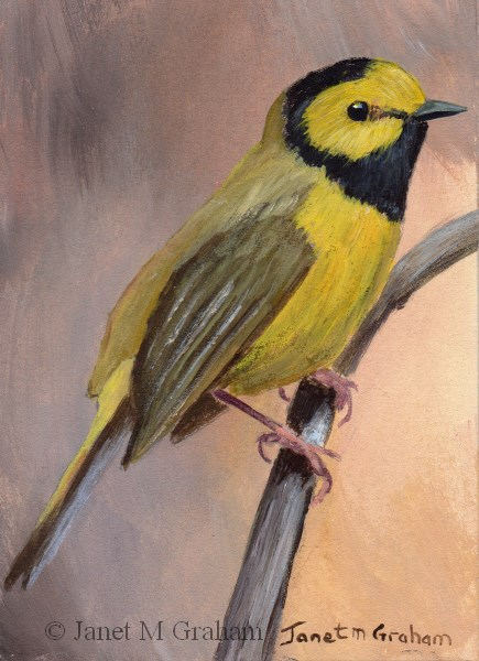 """Hooded Warbler ACEO"" original fine art by Janet Graham"