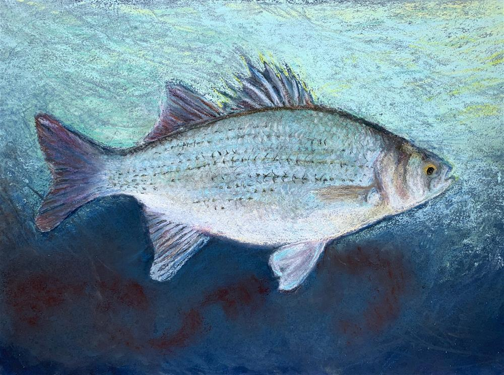 """White Bass"" original fine art by Jean Krueger"