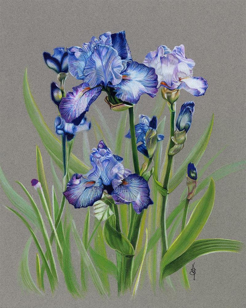 """Hondo Iris"" original fine art by Valorie Sams"
