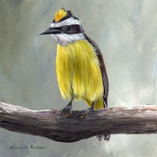 """Great Kiskadee"" original fine art by Janet Graham"