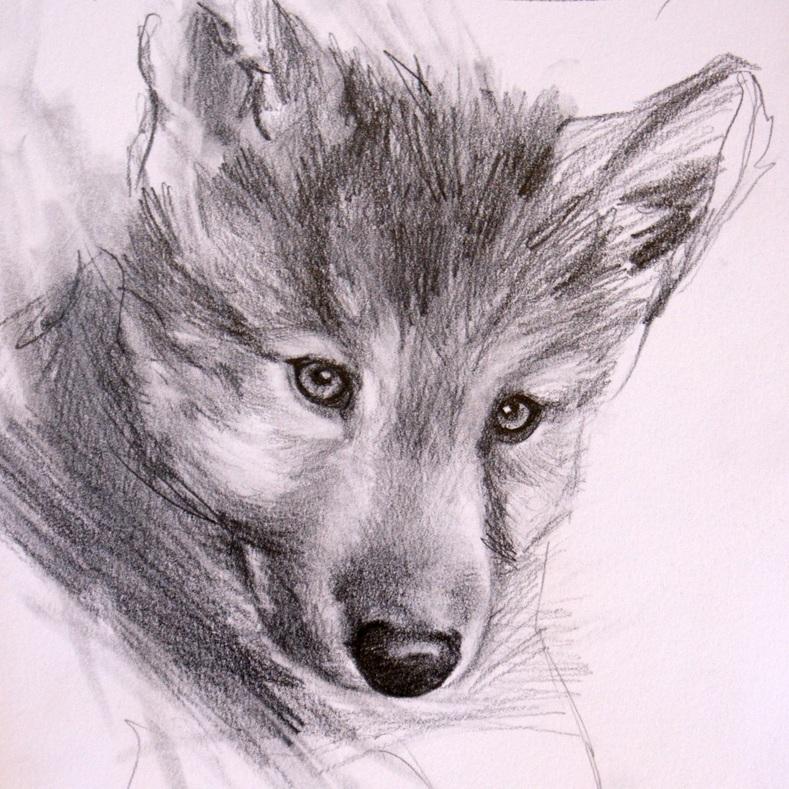"""Innocence,  Wolf Study #1"" original fine art by Crystal Cook"