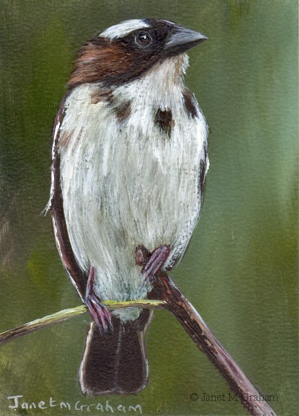 """White Browed Sparrow Weaver ACEO"" original fine art by Janet Graham"