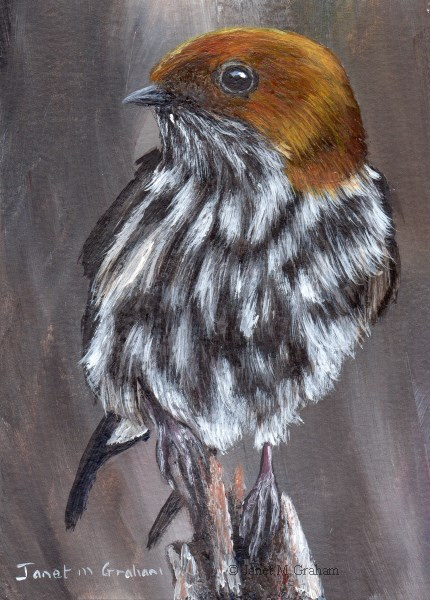 """Lesser Striped Swallow ACEO"" original fine art by Janet Graham"