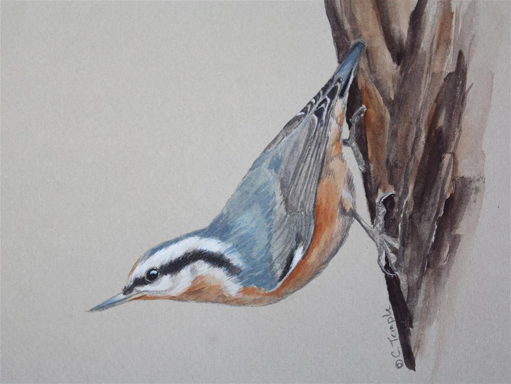 """""""Red-breasted nuthatch sketch"""" original fine art by Catherine Temple"""