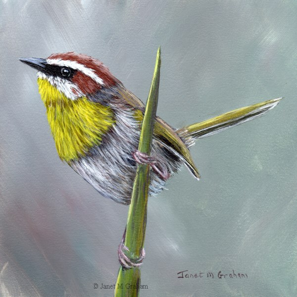 """Rufous Capped Warbler No 6"" original fine art by Janet Graham"