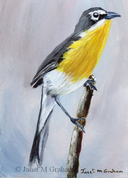 """""""Yellow Breasted Chat ACEO"""" original fine art by Janet Graham"""