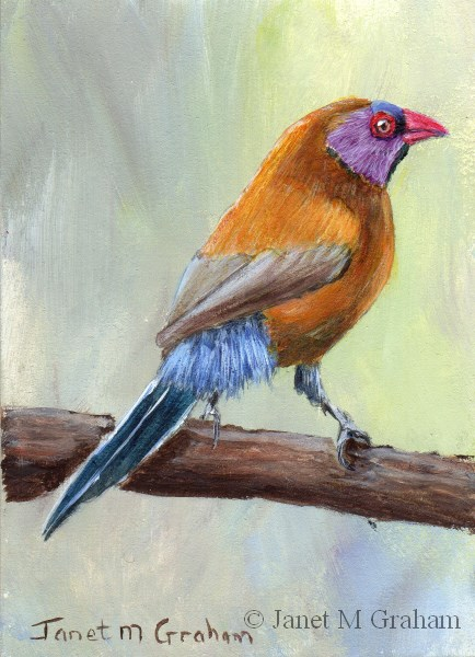 """""""Violet Eared Waxbill ACEO"""" original fine art by Janet Graham"""