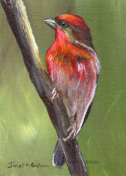 """""""Common Rosefinch ACEO"""" original fine art by Janet Graham"""