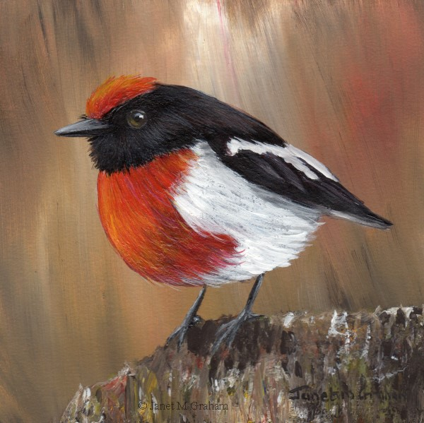 """""""Red Capped Robin No 6"""" original fine art by Janet Graham"""