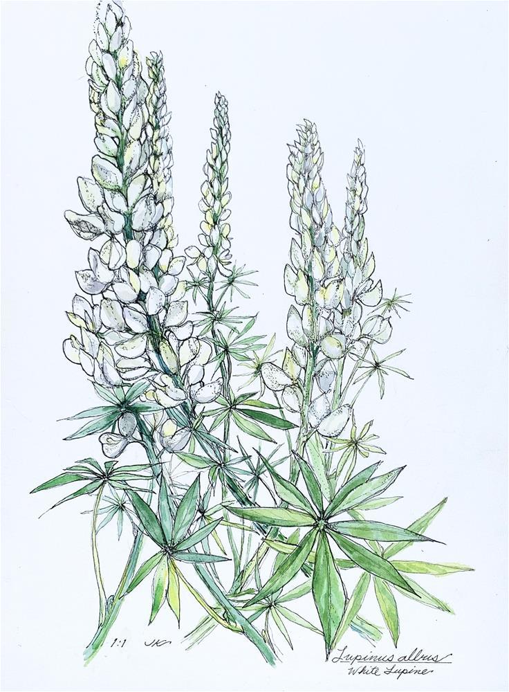 """Lupinus albus - White Lupine"" original fine art by Jean Krueger"