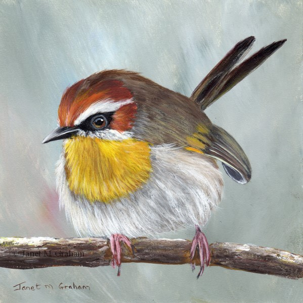 """Rufous Capped Warbler No 7"" original fine art by Janet Graham"
