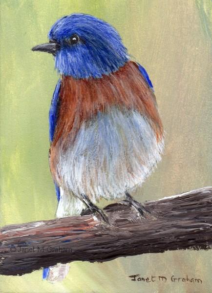 """Western Bluebird ACEO"" original fine art by Janet Graham"