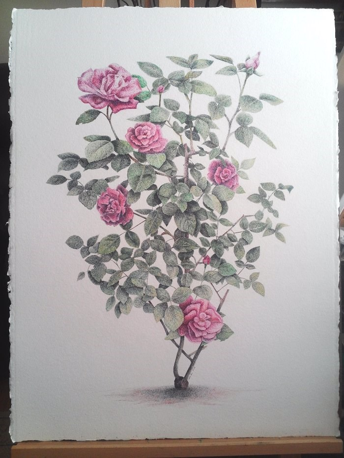 """Pink Roses Pen Drawing"" original fine art by Camille Morgan"