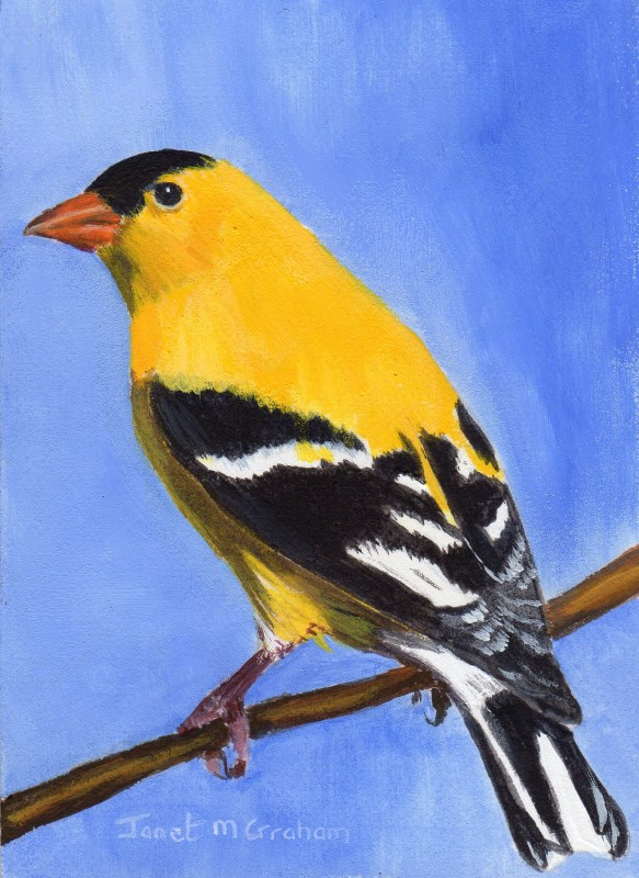 """""""Goldfinch ACEO"""" original fine art by Janet Graham"""