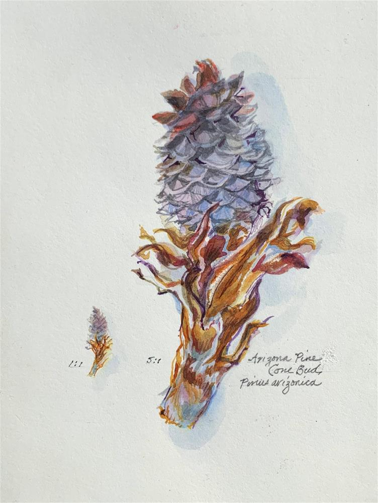 """Arizona Pine -  Cone Bud"" original fine art by Jean Krueger"