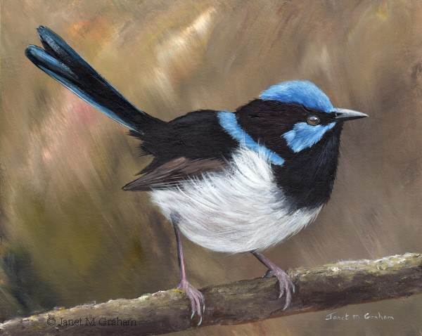"""Superb Fairy Wren No 22"" original fine art by Janet Graham"