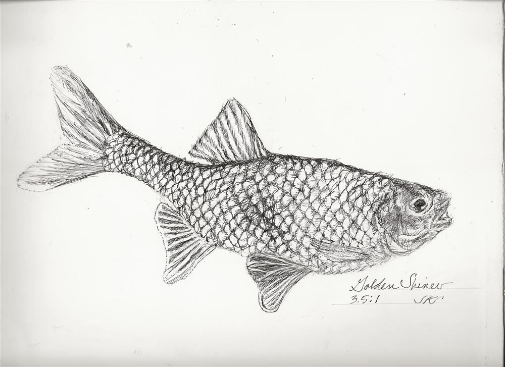 """Golden Shiner"" original fine art by Jean Krueger"